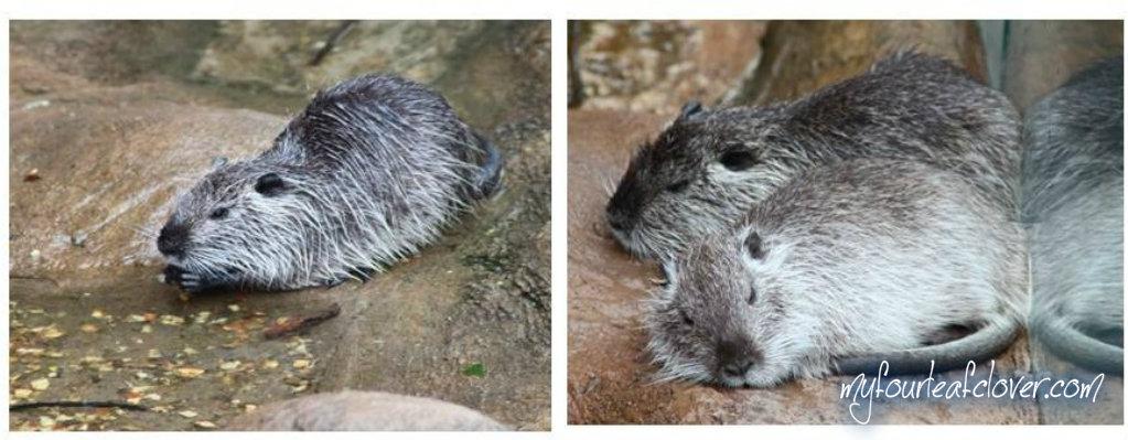 tikus-air-raksasa-batu-secret-zoo