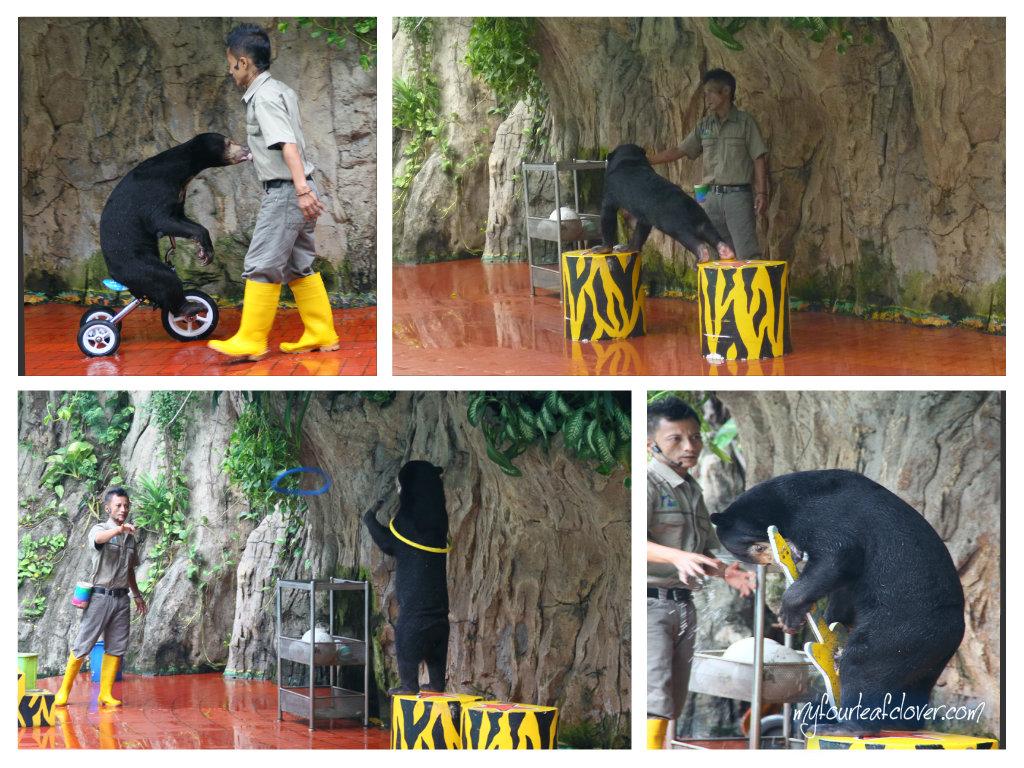 Ini si beruang yang menunjukkan keahliannya menangkap gelang, naik sepeda, push-up, main gitar, naik mobil.
