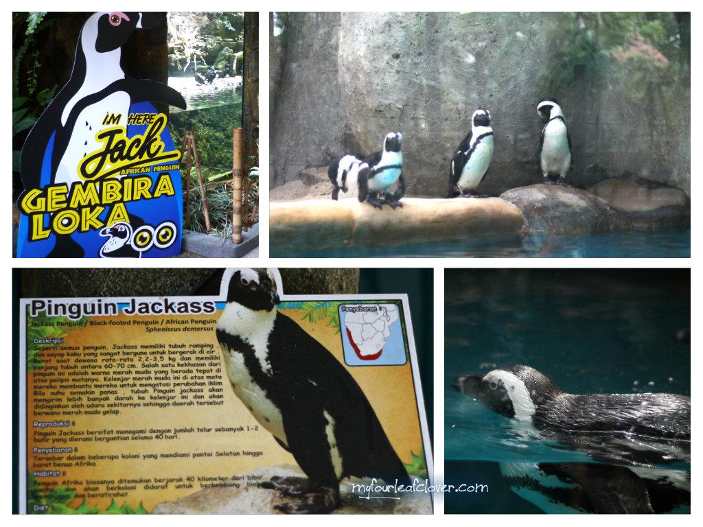 pinguin-jackass-gembira-loka-zoo