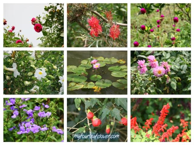 kebun-mawar-situhapa