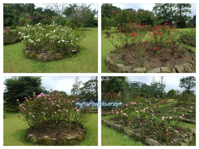 kebun-mawar-situhapa3