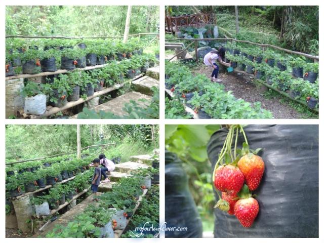 Anak-anak asyik petik, eh gunting strawberry