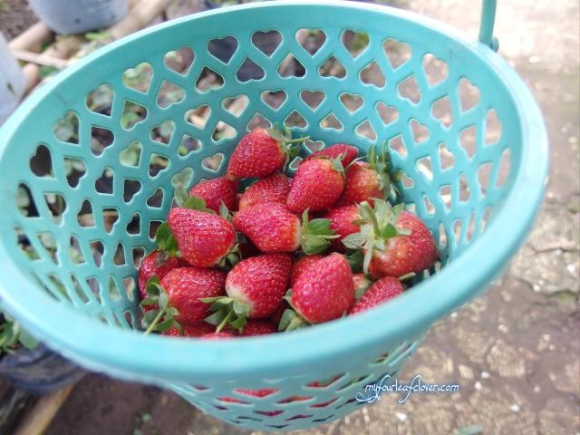 Hasil menggunting strawberry
